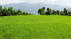 Beautiful lush green crops in the pokhara valley Royalty Free Stock Images