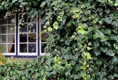 Beautiful lush green ivy creeping over blue windows Stock Photo