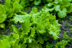 Beautiful lush green juicy lettuce leaves. Royalty Free Stock Photo