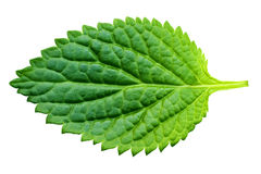 A beautiful lush green leaf Stock Photo