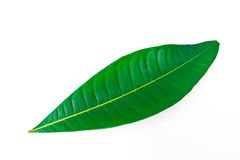 A beautiful lush green leaf isolated Royalty Free Stock Images