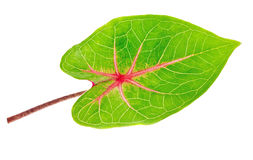A beautiful lush green and red leaf Stock Photos