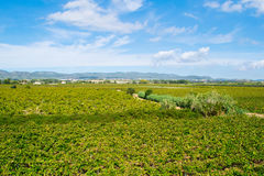 Beautiful lush green vineyard on a sunny summer day,  view from the top Stock Photo