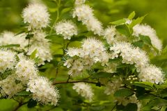 Blooming bush with white flowers. Beautiful lush inflorescences of spiraea from small white flowers on branches of a bush royalty free stock photography