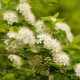 Blooming bush with white flowers. Beautiful lush inflorescences of spiraea from small white flowers on branches of a bush royalty free stock image