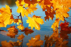 beautiful lush maple branches with bright Golden and orange leaves bent over the blue water reflecting in it like a mirror stock photo