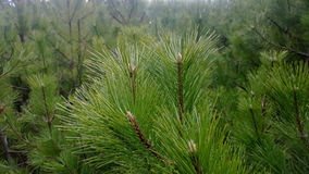 Beautiful, lush pine branches with long needles  selective focus Stock Photos
