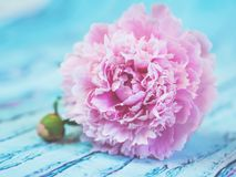 A lush pink peony lying on a bluish wooden table against soft-focused background. Stock Photos