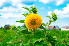 Beautiful lush sunflower blossoms. Against the sky stock photo