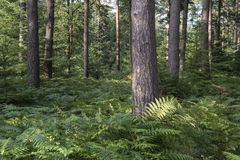Beautiful lush vibrant forest landscape in Summer Royalty Free Stock Photo
