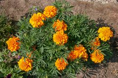 Beautiful lush yellow orange flowers look like asters on a green bush. Around brown earth. There are not open buds stock photography