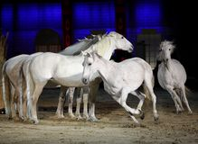 Beautiful lusitano horses galloping Royalty Free Stock Images