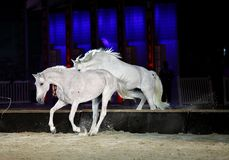 Beautiful lusitano horses jumping Stock Photography