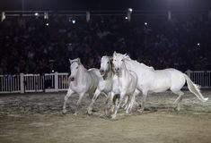 Beautiful lusitano horses performing in sand arena Royalty Free Stock Photo