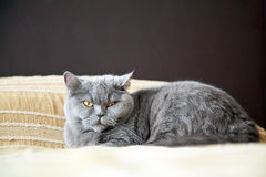 Beautiful Lying Cat Stock Photography