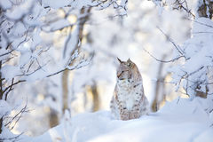 Beautiful lynx cat cub in the cold winter forest Royalty Free Stock Photos