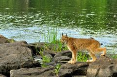 Beautiful Lynx crossing rocks on a river. Large Lynx crosses stones in a river Royalty Free Stock Images