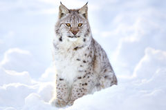 Beautiful lynx cub sits in the cold snow Stock Photography
