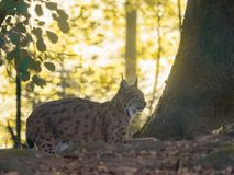 A beautiful lynx lies in the forest royalty free stock photography