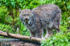 Beautiful Lynx Near Log Royalty Free Stock Images