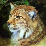 beautiful lynx outdoors in the fores royalty free stock photos