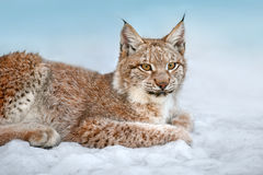Beautiful lynx rest Stock Photography