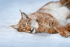 Beautiful lynx rest Stock Image
