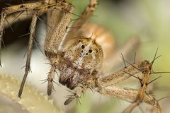 A beautiful Lynx spider Stock Images