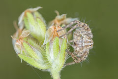 A beautiful Lynx spider Stock Image