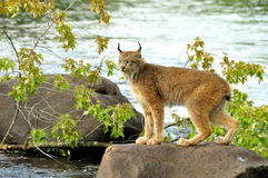 Beautiful Lynx standing on a rock in the river. Large Lynx crosses stones in a river Stock Photos