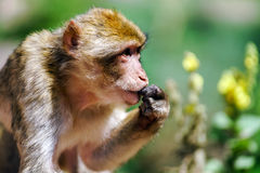 Beautiful macaco monkeys in the forest Royalty Free Stock Photo