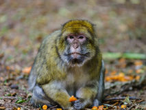Beautiful macaco monkeys in the forest Stock Image