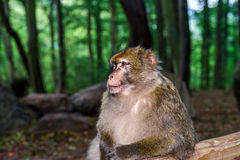 Beautiful macaco monkeys in the forest Stock Photography