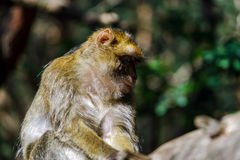 Beautiful macaco monkeys in the forest Stock Photos