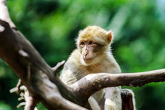 Beautiful macaco monkeys in the forest Royalty Free Stock Photography