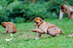 Beautiful macaco monkeys in the forest Stock Images