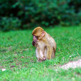 Beautiful macaco monkeys in the forest Royalty Free Stock Image