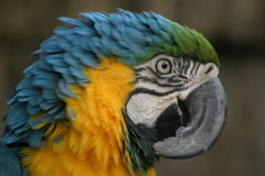 Beautiful macaw. Coloured parrot with crooked, crooked, bill bill Stock Photo