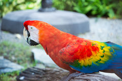 Beautiful macaw and Beautiful birds . Royalty Free Stock Photography