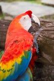 Beautiful macaw and Beautiful birds . Royalty Free Stock Photo
