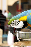 A beautiful macaw biting its food container Stock Photos