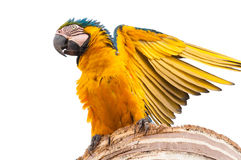 Beautiful macaw blue and yellow bird with open wings. Ready to fly Stock Image