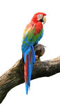 Beautiful macaw Stock Image