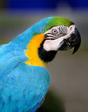 Beautiful macaw parrot Royalty Free Stock Image