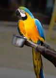 Beautiful macaw parrot Stock Image