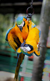 Beautiful macaw parrots Royalty Free Stock Images