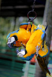 Beautiful macaw parrots Royalty Free Stock Photography