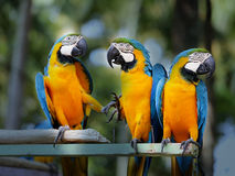 Beautiful macaw parrots Royalty Free Stock Photo