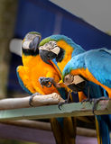 Beautiful macaw parrots Royalty Free Stock Image