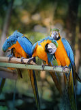 Beautiful macaw parrots Stock Image